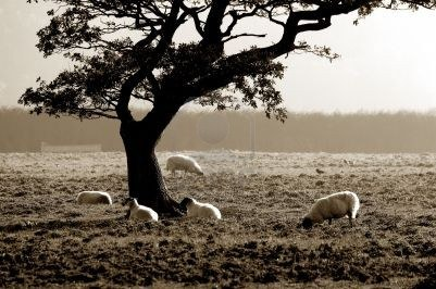 602449-sheep-sheltering-under-a-tree-on-a-misty-cold-uk-morning-with-sepia-toning