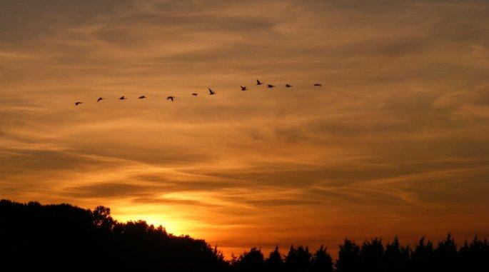 Wild_Geese_by_Nigel_Kell